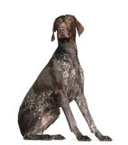 German Shorthaired Pointer, 4 years old, sitting stock photos
