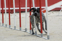 German shorthaired pointer in agility Royalty Free Stock Photos