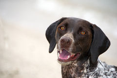 German Shorthaired Pointer on the Beach Royalty Free Stock Photo