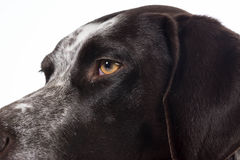 German shorthaired pointer details Royalty Free Stock Photography