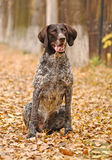 German Shorthaired Pointer (Deutsch Kurzhaar). In Autumn Park Royalty Free Stock Photo