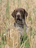 German shorthaired pointer dog. Sitting in the field royalty free stock photography
