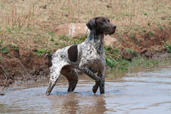 German Shorthaired Pointer dog. German short hair pointer in typical pointing stance, in water, during field trial competition Royalty Free Stock Photos
