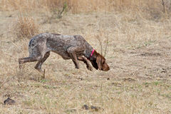 German Shorthaired Pointer dog. German short hair pointer picking up scent royalty free stock images