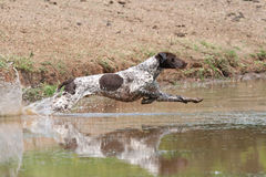 German Shorthaired Pointer dog. German short hair pointer diving into water stock photos