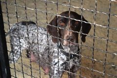 German shorthaired pointer dog behind a fence. Domestic, caged. royalty free stock photos