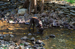 German Shorthaired Pointer dog drinking from a stream. A German Shorthaired Pointer dog drinking from a quiet stream, with river pebbles in the riverbed and a Royalty Free Stock Photo