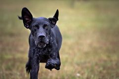 German Shorthair Pointer dog Stock Photography