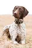German shorthaired pointer dog sitting in field Stock Image