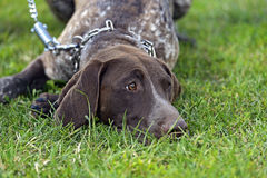 German Shorthaired Pointer dogs Stock Images