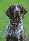 German Shorthaired Pointer dogs Stock Photo