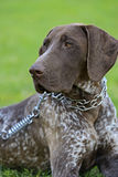 German Shorthaired Pointer dogs Stock Image