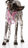 German shorthaired pointer female Royalty Free Stock Images