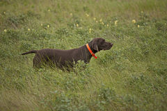 German shorthaired pointer in field Royalty Free Stock Images