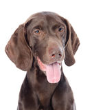 German Shorthaired Pointer in front. Royalty Free Stock Images