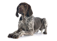 German Shorthaired Pointer Royalty Free Stock Photo