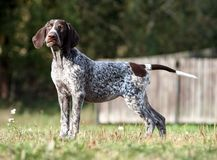 German shorthaired pointer, german kurtshaar one brown spotted puppy standing on a green grass royalty free stock photo