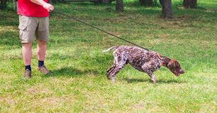 The German shorthaired pointer  with the host while strolling in the stadium. Morning walk with a dog_. The German shorthaired pointer  with the host while royalty free stock image