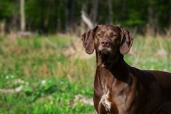 German shorthaired pointer hunter dog. German shorthaired pointer hunter  dog Royalty Free Stock Photography