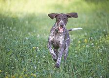 German shorthaired pointer - Hunter dog stock photo