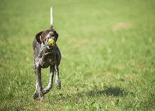 German shorthaired pointer - Hunter dog Stock Photography