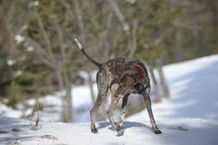 German shorthaired pointer - Hunter dog Stock Images