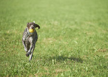 German shorthaired pointer - Hunter dog Royalty Free Stock Photography
