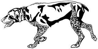 German Shorthaired Pointer hunting dog Stock Image
