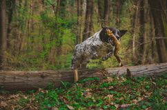 German hunting dog jumping over a tree in the colorful spring scenery royalty free stock photography
