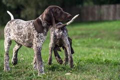 German Shorthaired Pointer, German kurtshaar two puppies age three months. Standing on the grass, one in a profile in full growth, the second behind, the back stock image