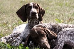 German shorthaired pointer, german kurtshaar two spotted little brown puppy stock photo
