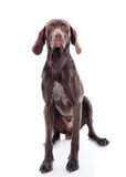 German Shorthaired Pointer Kurzhaar Royalty Free Stock Photo