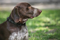 German Shorthaired Pointer (Kurzhaar) portrait Royalty Free Stock Images