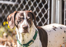 German Shorthaired Pointer stock images
