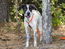 German Shorthaired Pointer mixed breed dog. Female German Shorthaired Pointer mixed breed bird dog with orange collar and leash. Outdoor Pet Adoption photography Royalty Free Stock Photo