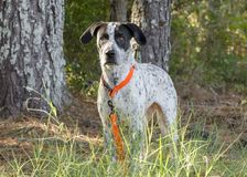 German Shorthaired Pointer mixed breed dog. Female German Shorthaired Pointer mixed breed bird dog with orange collar and leash. Outdoor Pet Adoption photography Royalty Free Stock Image