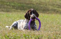 German shorthaired pointer, in the mouth keeps a toy puller lilac stock photography