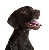 German Shorthaired Pointer, panting Royalty Free Stock Photography