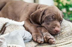 German Shorthaired Pointer Puppies Stock Image