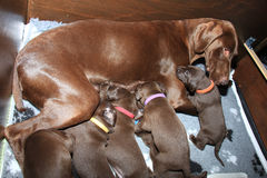 German Shorthaired Pointer Puppies Stock Images