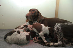 German Shorthaired Pointer puppies Royalty Free Stock Photo