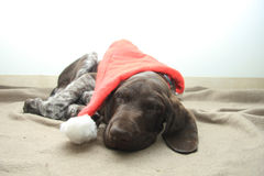German Shorthaired Pointer puppies Stock Photography