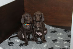 German Shorthaired Pointer Puppies Stock Photos