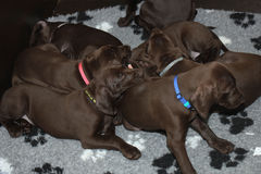 German Shorthaired Pointer Puppies Royalty Free Stock Photography
