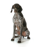 German shorthaired pointer puppy female female Stock Photo