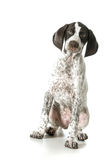 German shorthaired pointer puppy female Stock Images