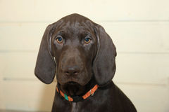 German Shorthaired Pointer puppy Royalty Free Stock Photography