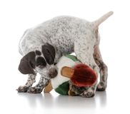 German shorthaired pointer puppy. Playing with stuffed bird on white background Stock Image