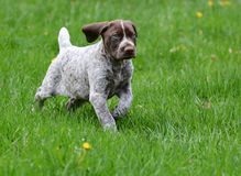 German shorthaired pointer Royalty Free Stock Photography