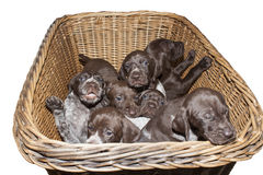 German shorthaired pointer puppy, three weeks old Royalty Free Stock Images